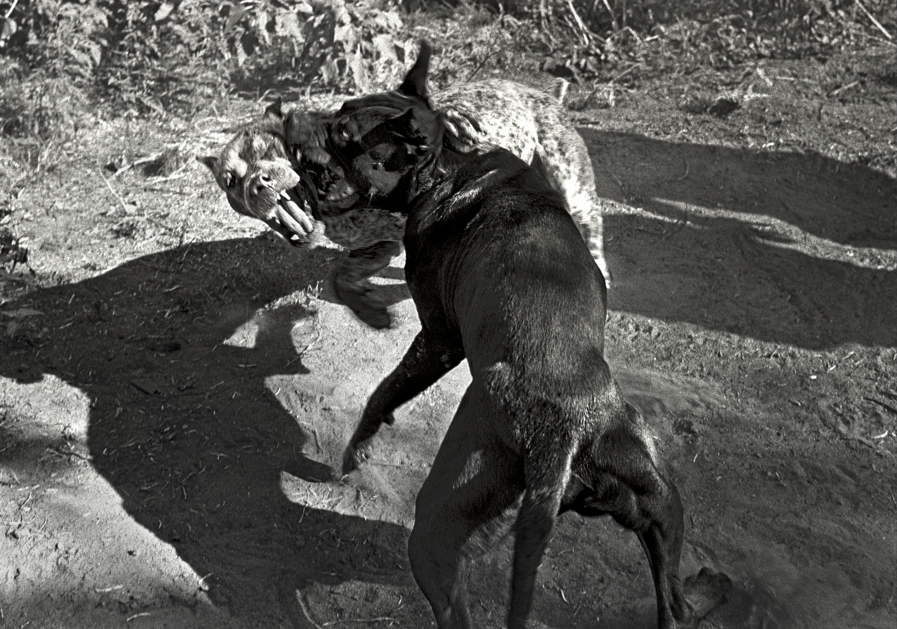 Pit Bull Dogs Fighting, Cotulla, Texas, 1994