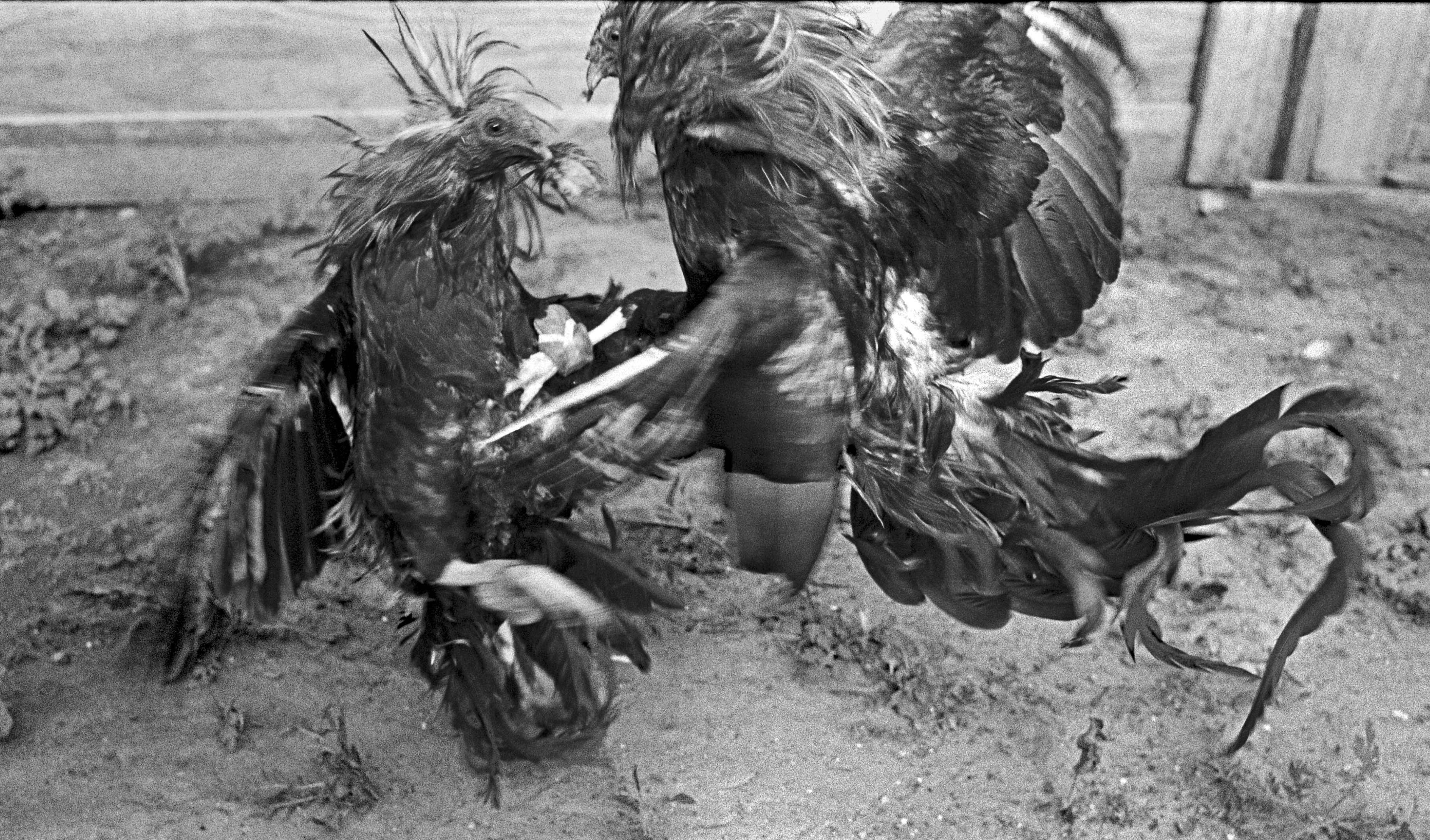 Fighting Cocks, Webb County, Texas, 1994